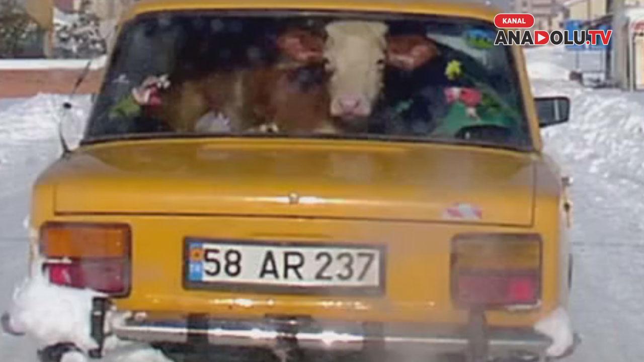 Konya'da dana otomobilde ta??nd? #konyahaber